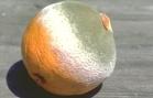 orange-moisissure
