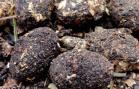 cocon de larve de cétoine en boulette fécale